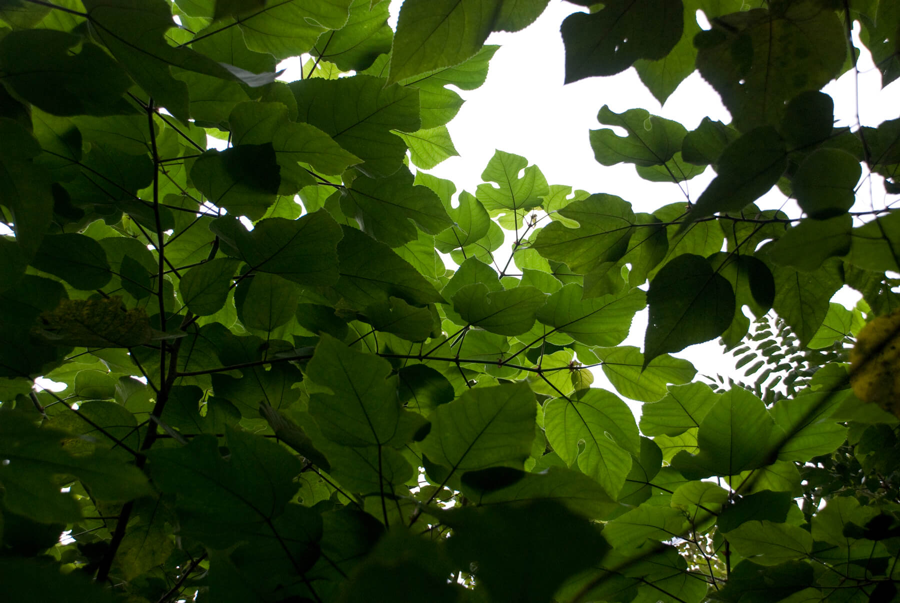 pulp-mulberry-growing-1_T.JPG
