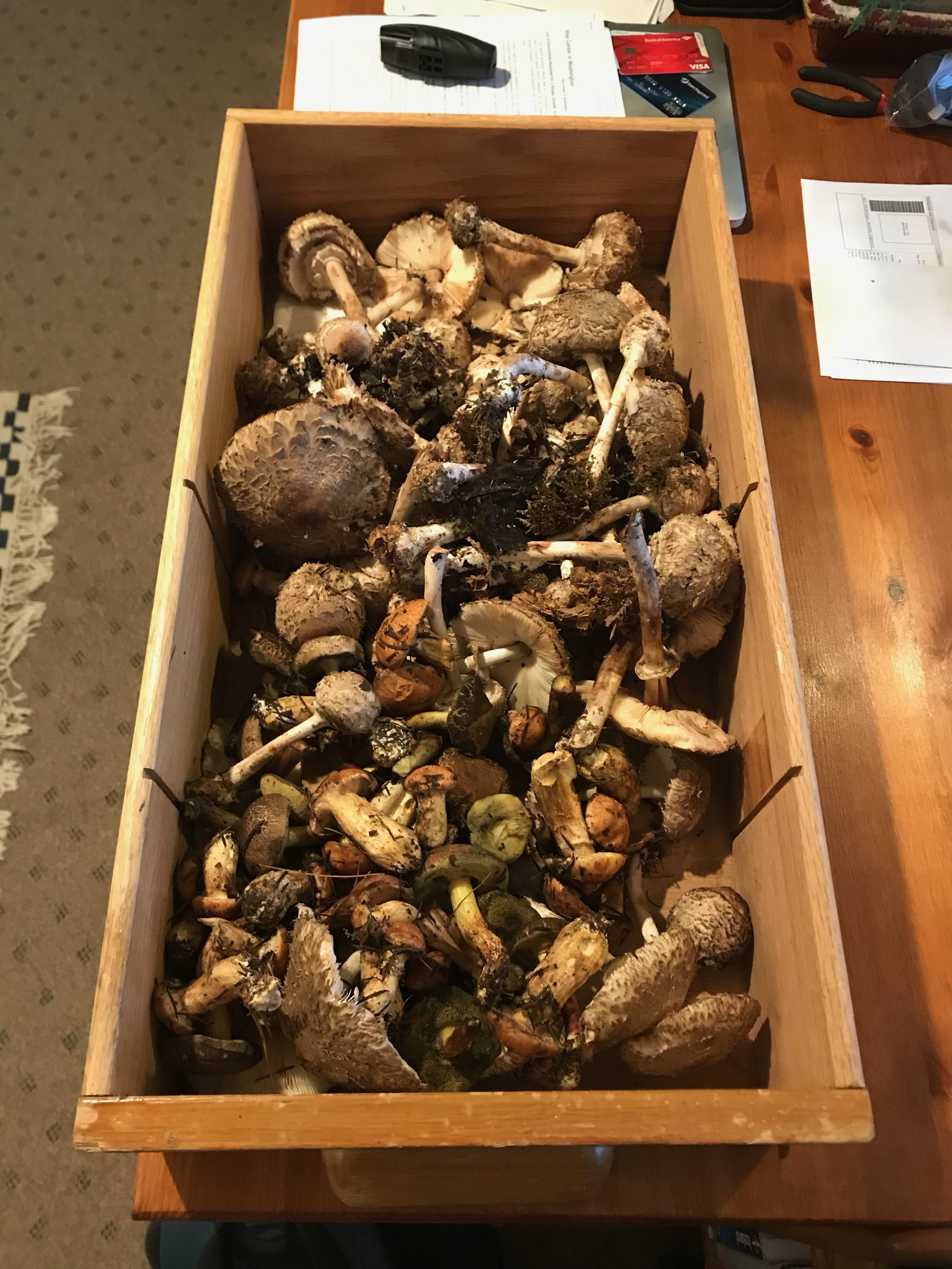 While we were running at Discovery Park one day, my partner and I found an INCREDIBLE array of edible mushrooms! Needless to say, the running stopped, and was replaced by us frantically grabbing all of the shaggy parasols, slippery jacks, and red cracked boletes we could carry.