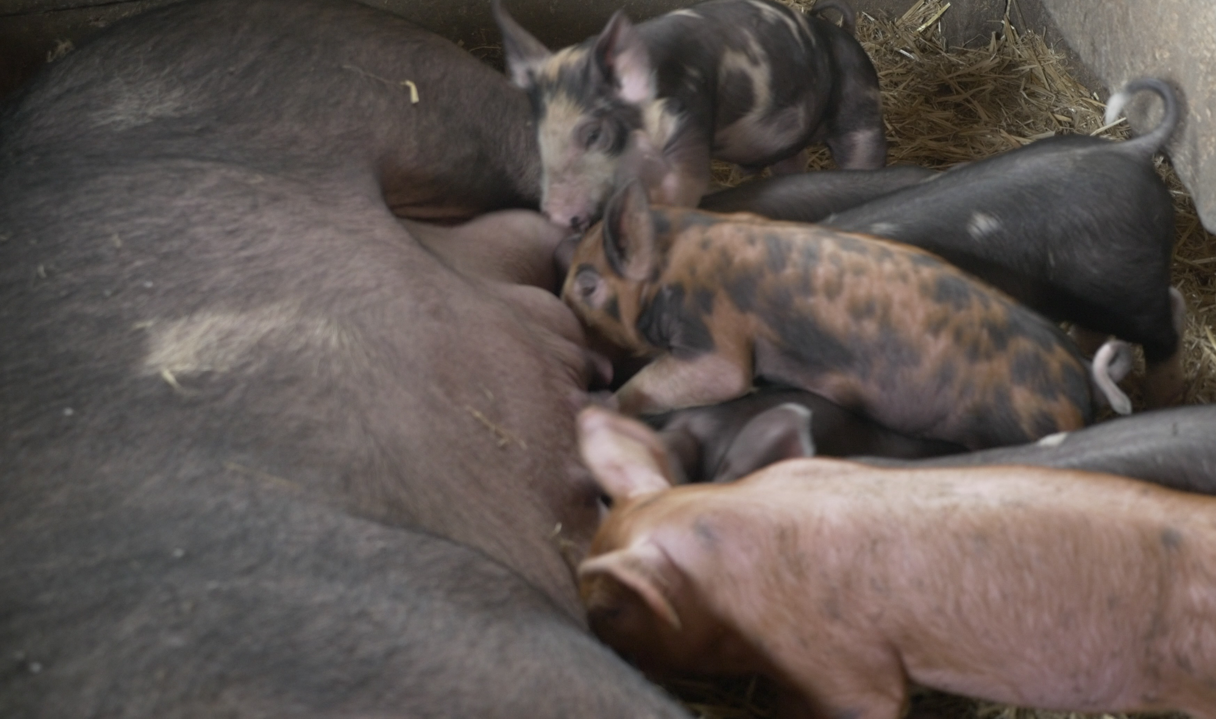 Pigs2Slider.png