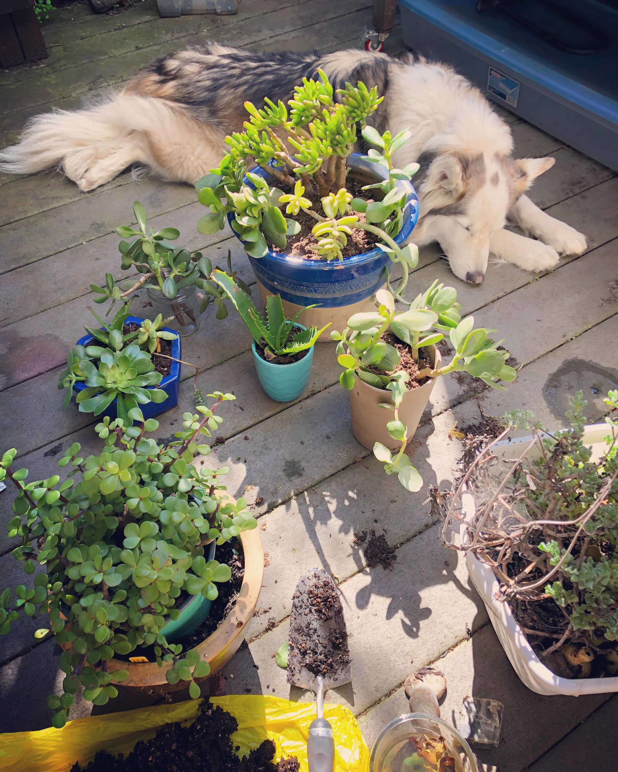 """Potting my """"plant rescues"""" while my other rescue snoozes."""