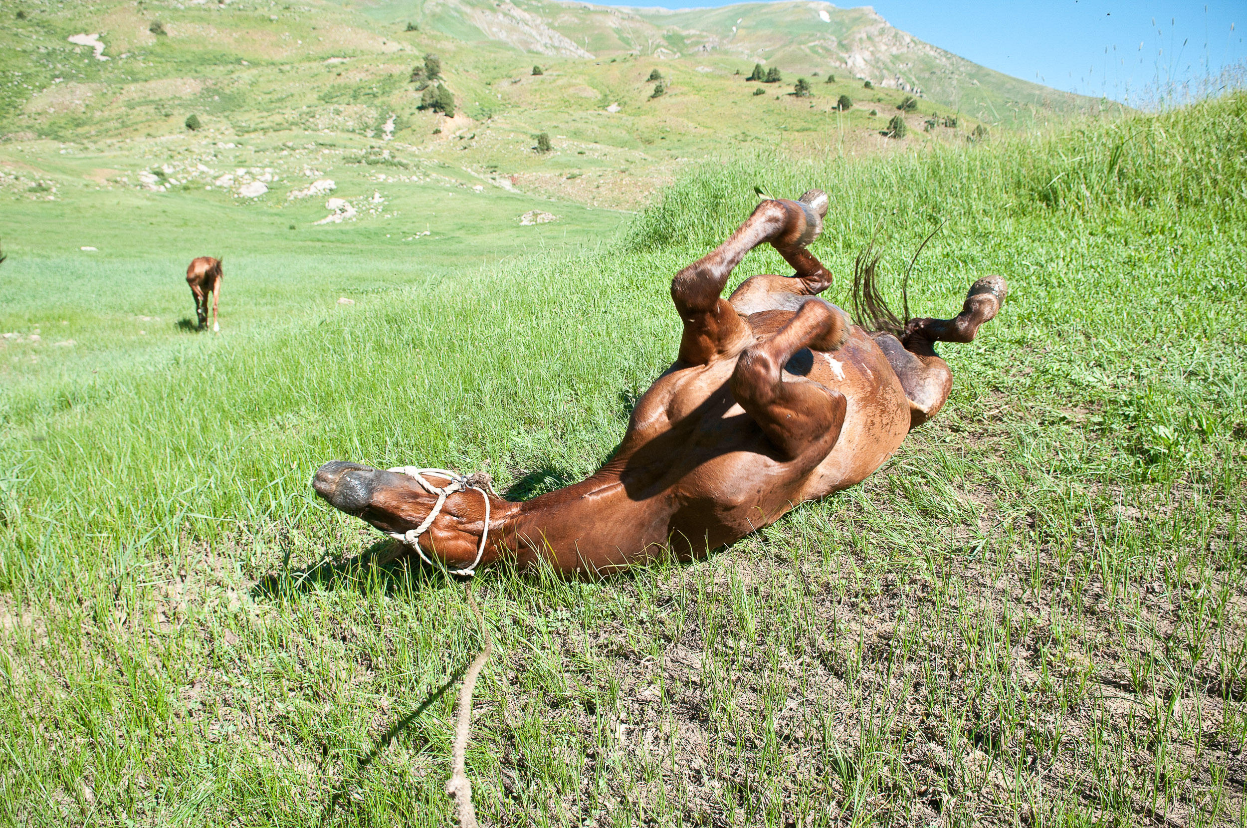 Horse rolling, Kazakhstan.