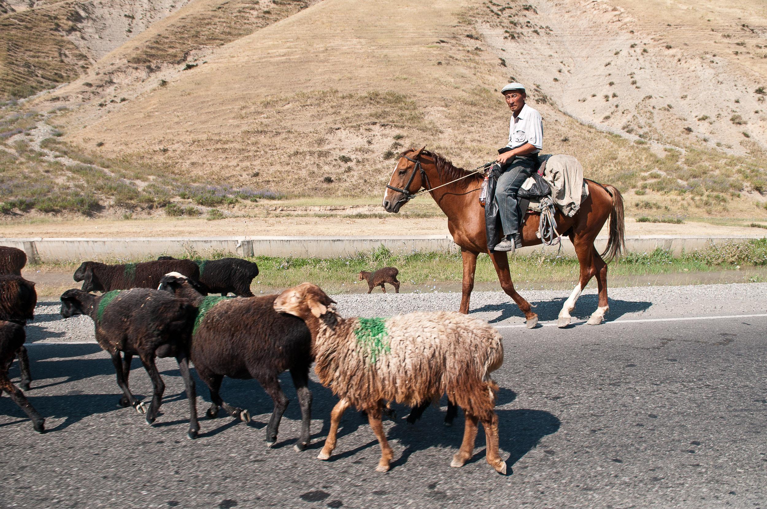 Man and sheep, Kyrgyzstan.