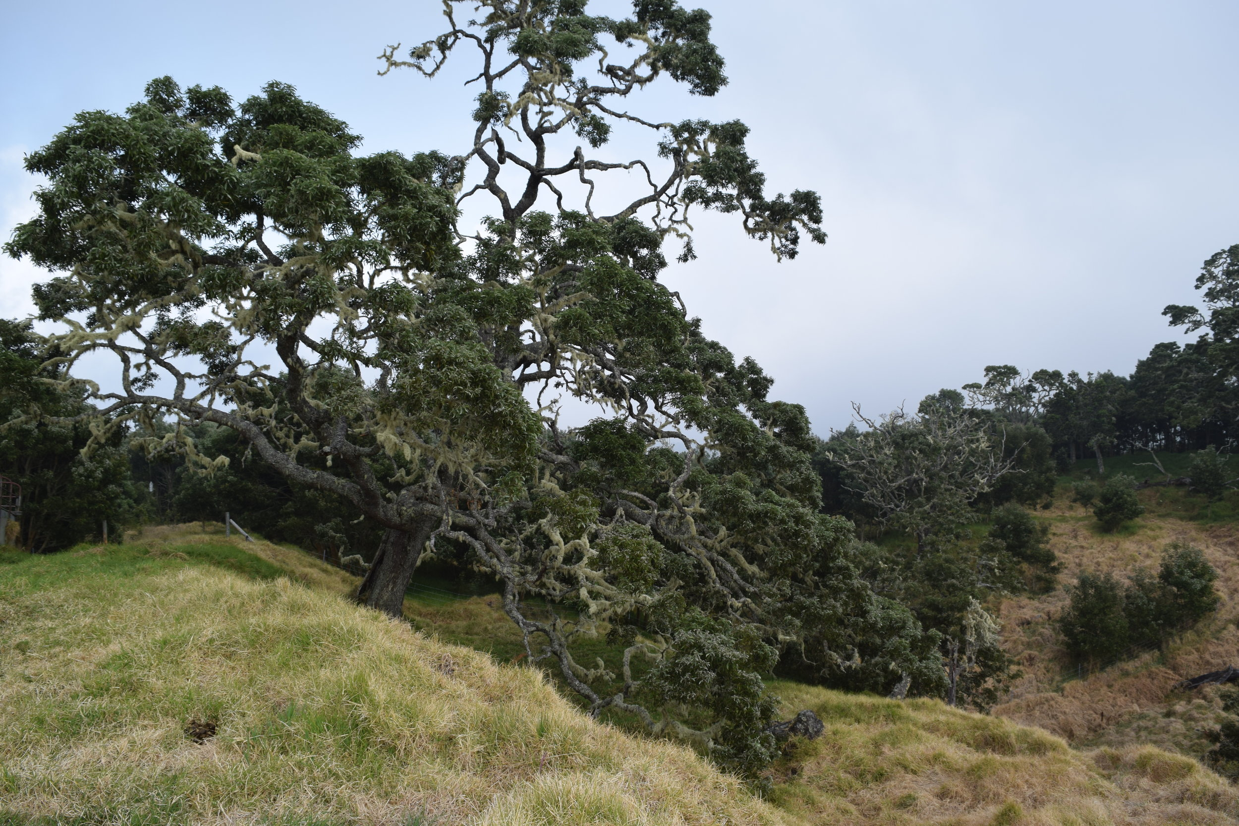 Big Koa Tree Near Hakalau Forest National Wildlife Refuge