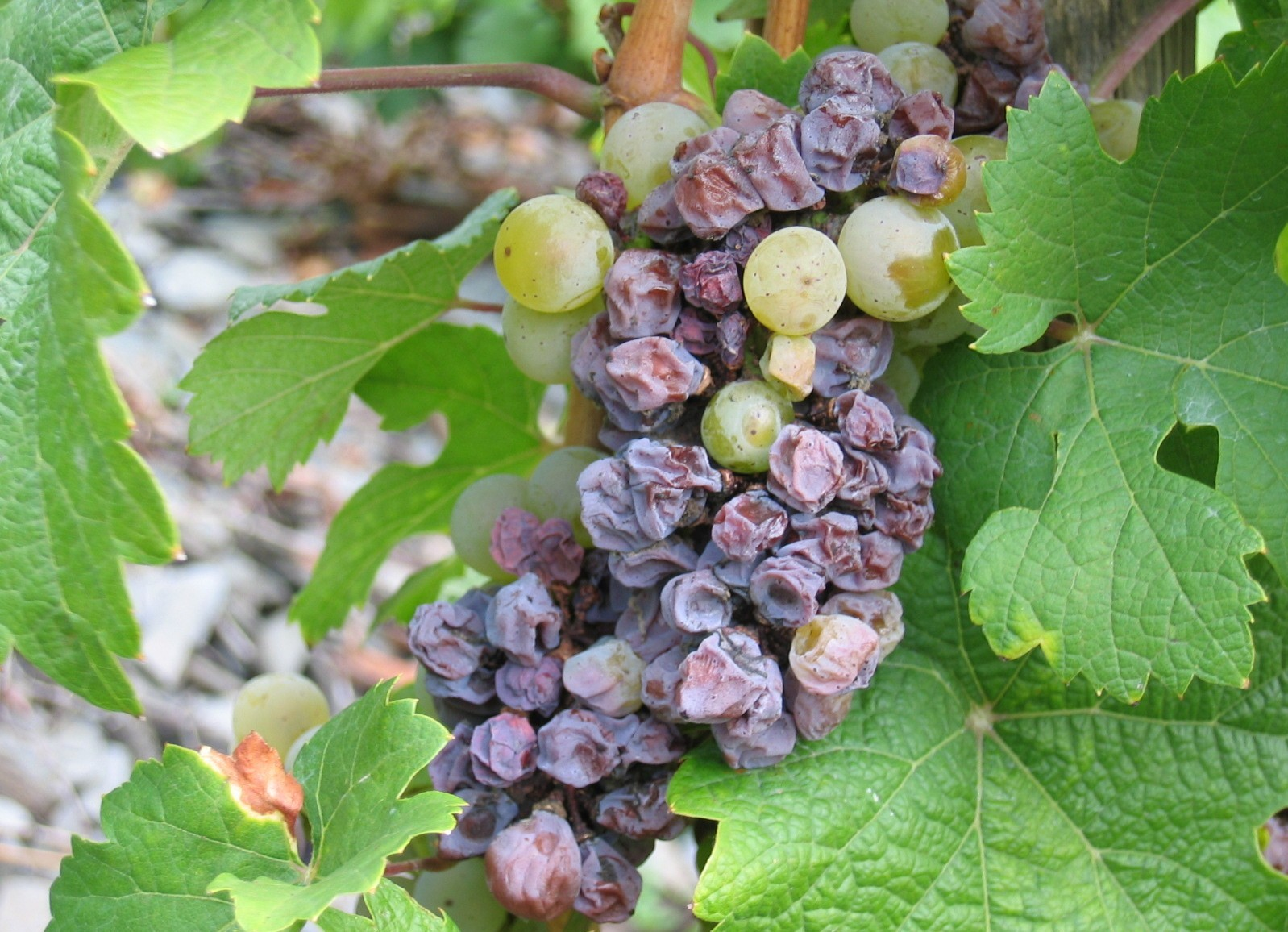 Dried grapes can make surprisingly good wine.