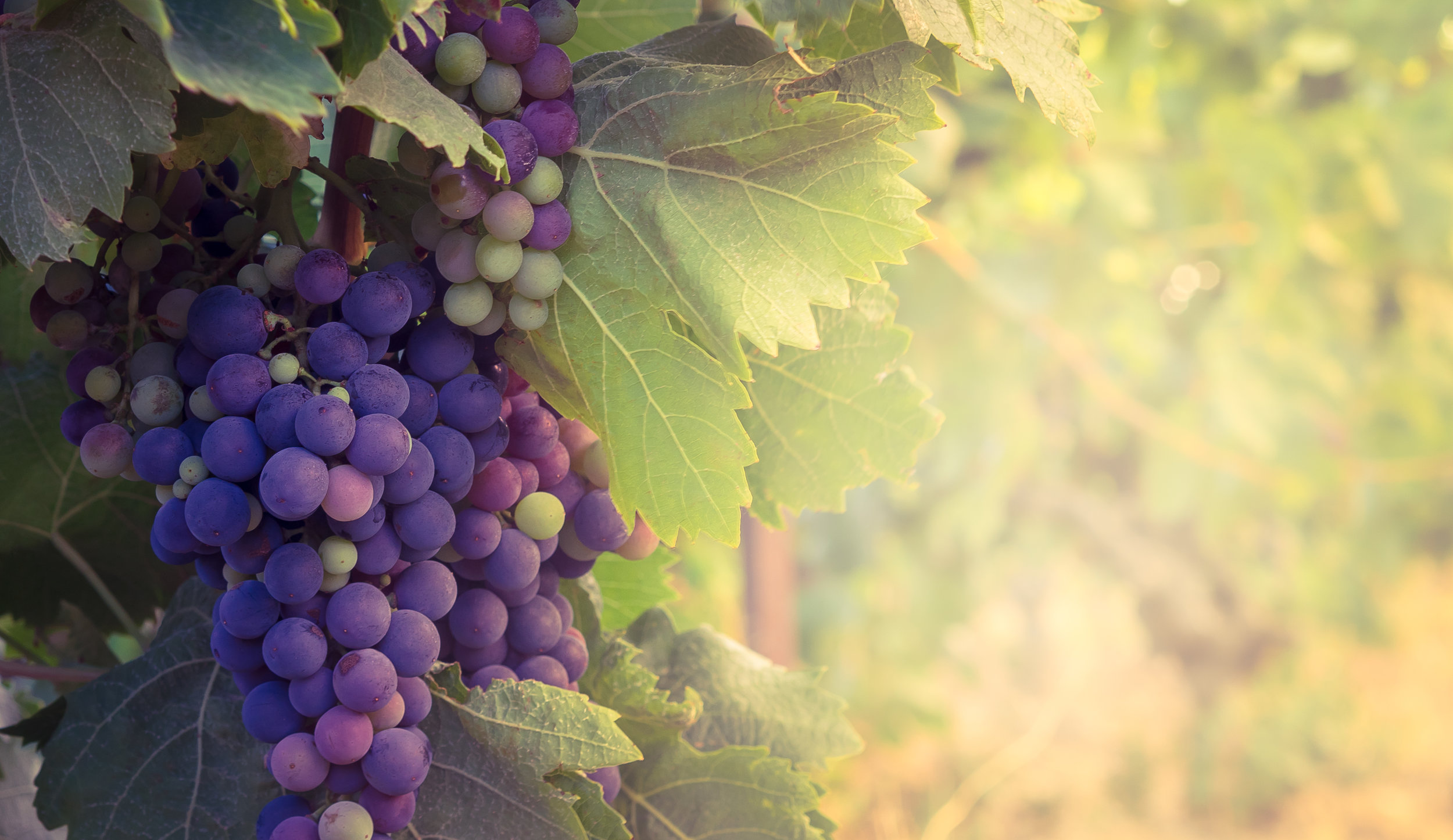 We're not 100% sure that these are merlot grapes but it's a nice pic.