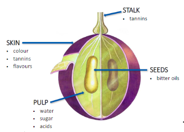 Where tannins are located in a grape. Image taken from WSET Level 2 Study Guide.