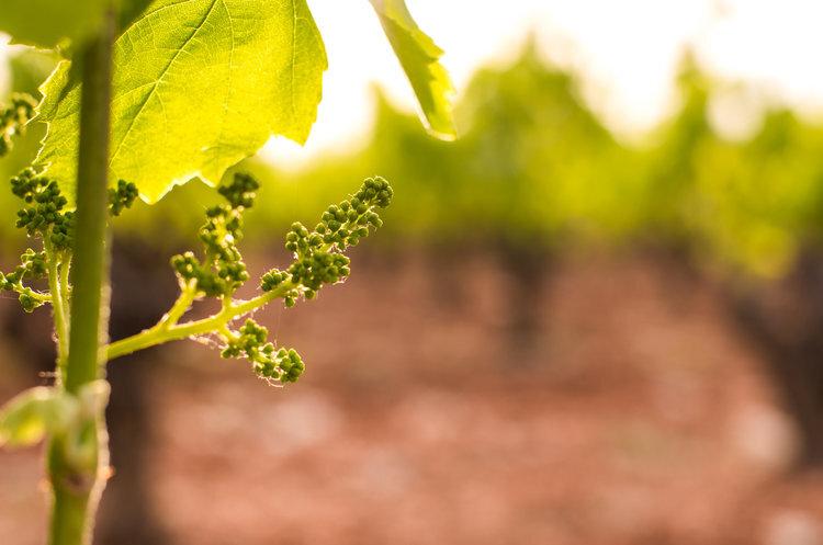 baby grapes.jpg