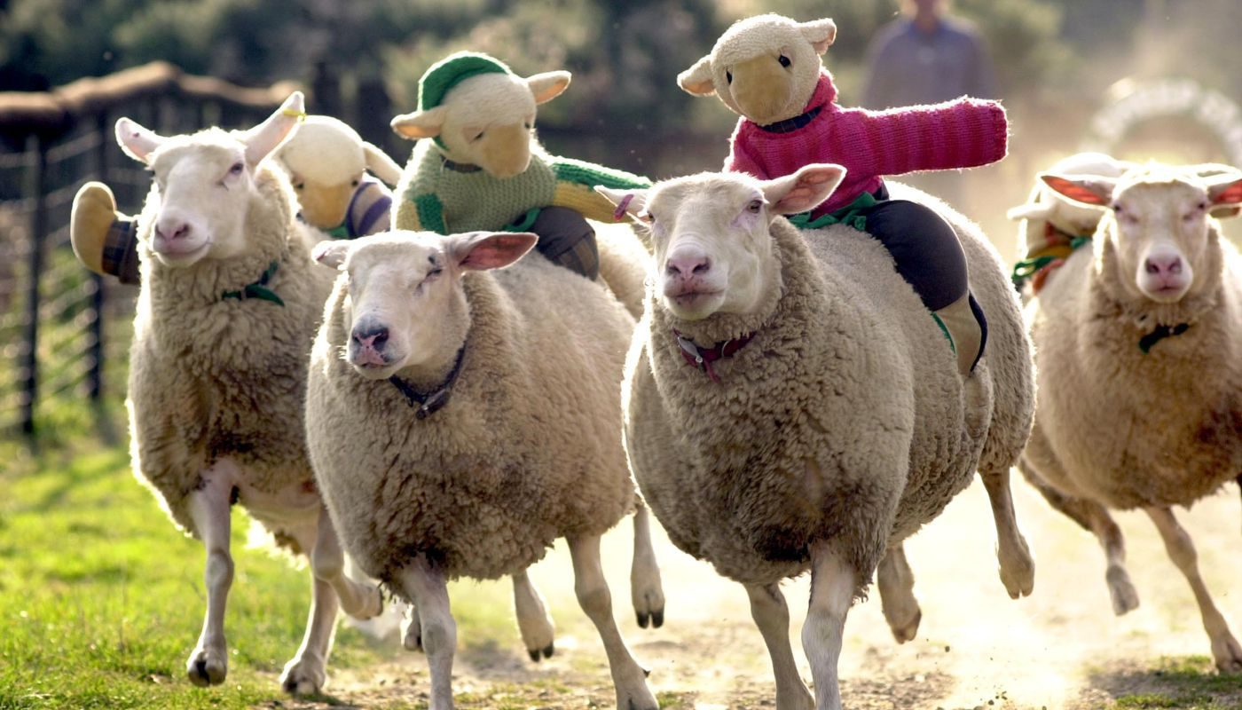 sheep-race.jpg
