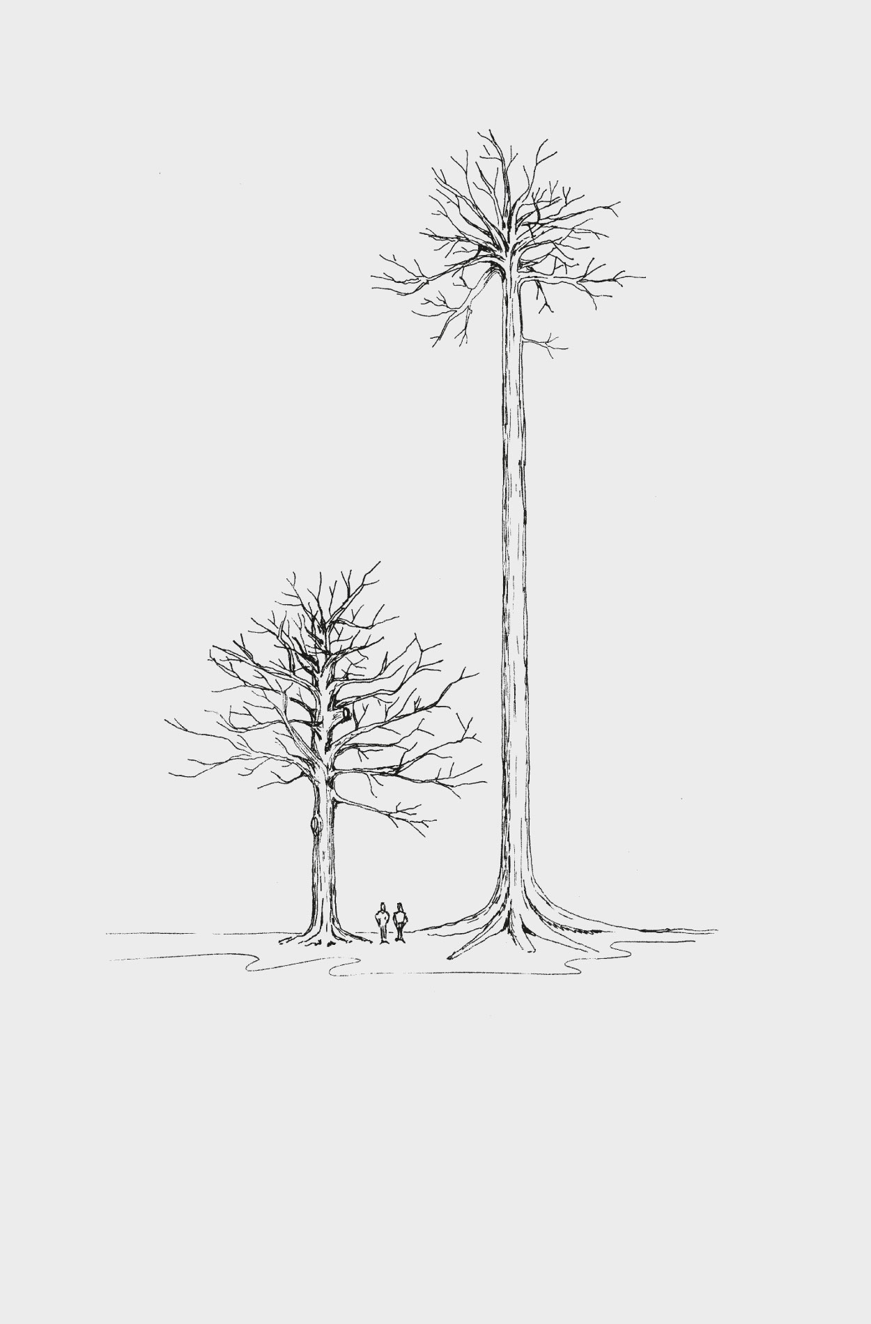 The height comparison between a modern oak and an ancient oak