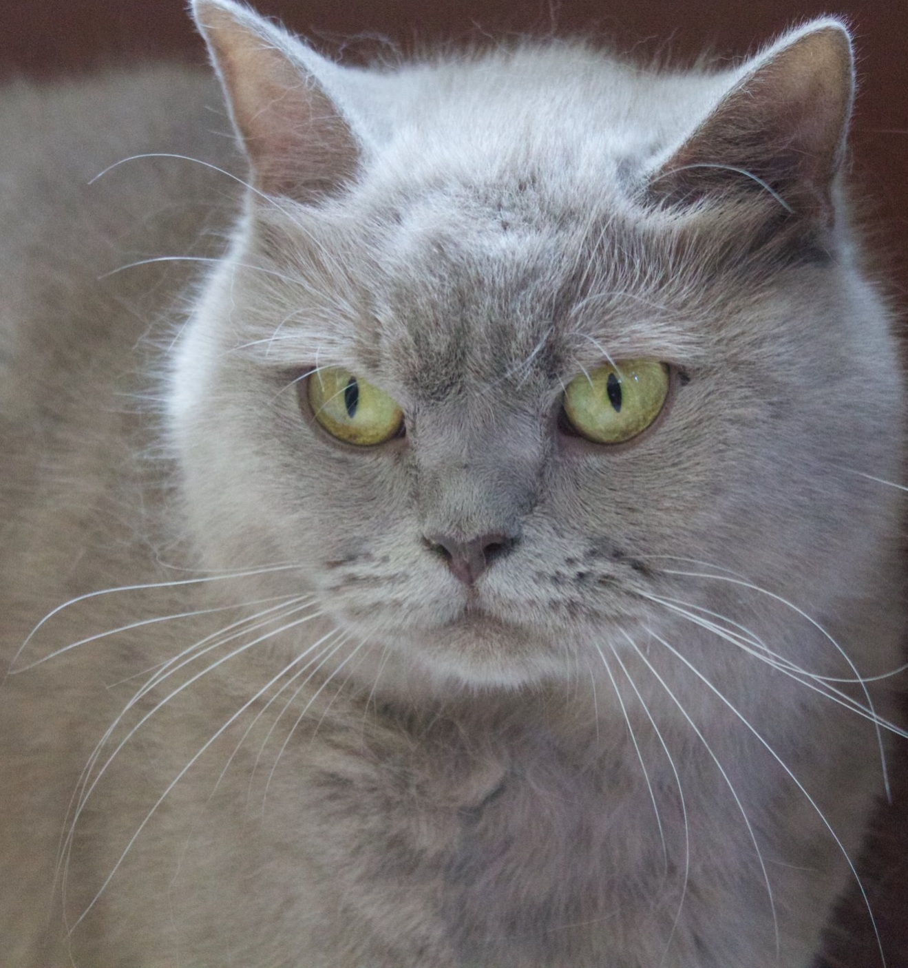 Queen Jasmine - Jasmine is a beautiful lilac British Shorthair with a sweet personality and good bloodlines.  She is an excellent mother and we're excited about her kittens.