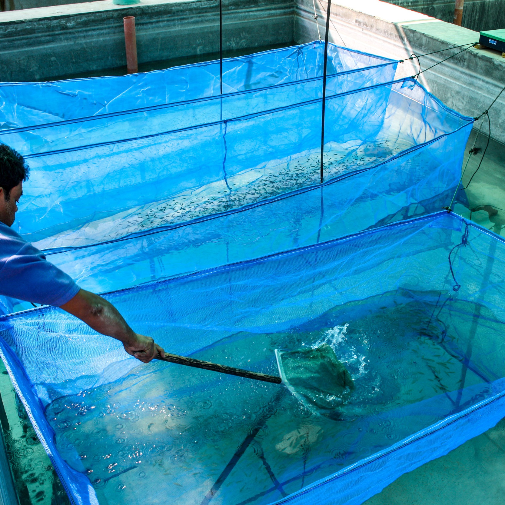 Small fish are strained out of blue water tanks using a hand held net.