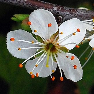 ( SOURCE ) Blackthorn Flower