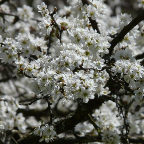 blackthorn-500x500.jpg