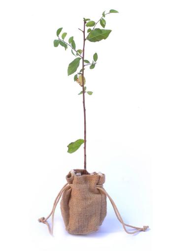 Blackthorn sapling from Tree2mydoor.com