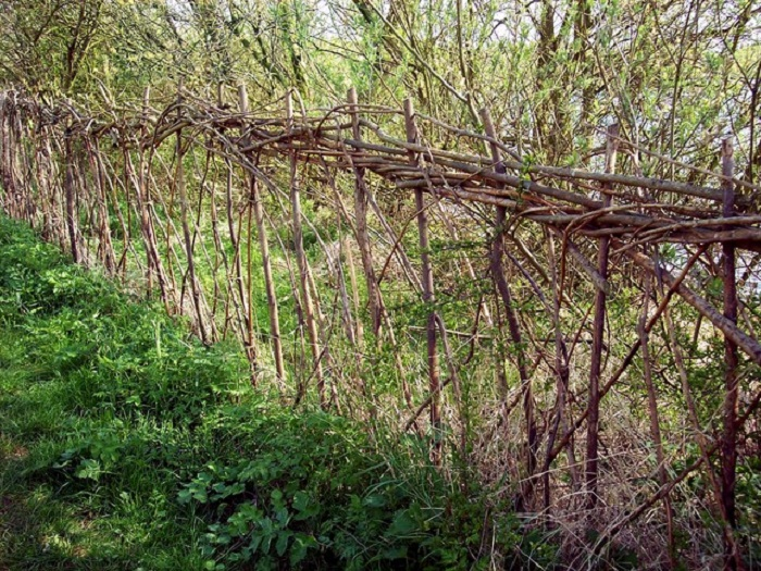 A perfect example of hedge laying