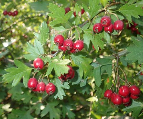 Hawthorn_monogyna_berries_2.jpg