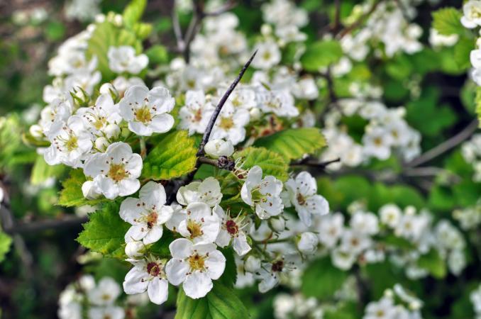204738-678x450-Hawthorn-flowers.jpg