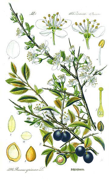 359px-Illustration_Prunus_spinosa1.jpg