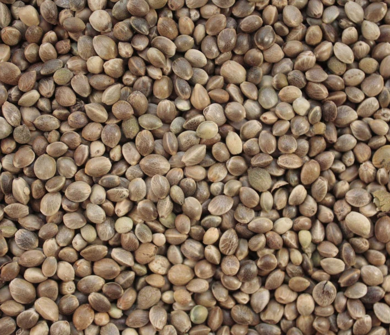 Hemp Seed Genetics - CBD, Grain, FibreBenefits: High in Absorable Proteins, Omega Oils, Fibre, Essential Minerals & Vitamins, GMO Free, Pesticide Free, Nut Free, Gluten Free, Dairy FreeUses: Planting, Food,