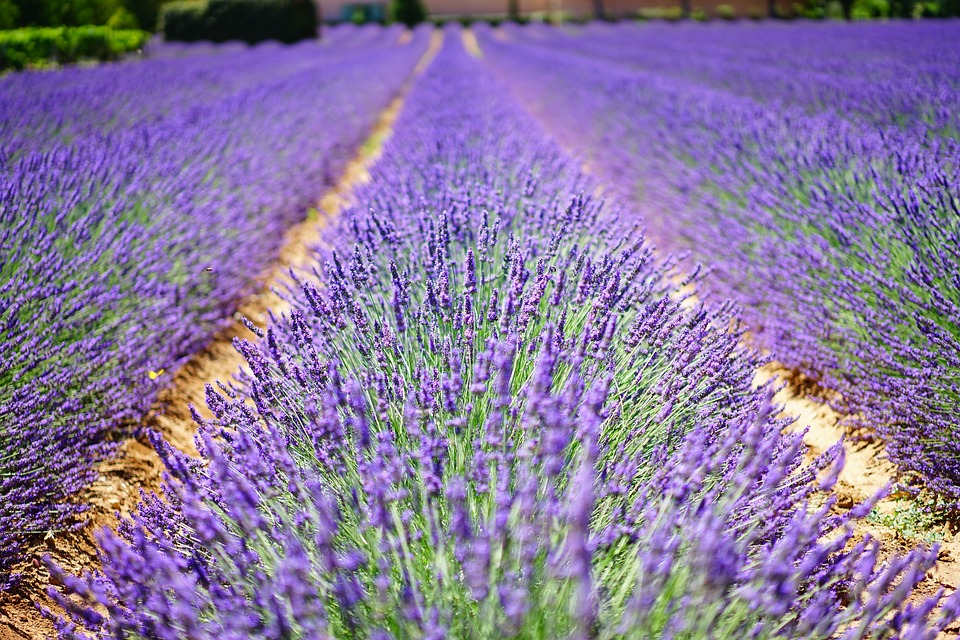 Fragrant field of lavender.