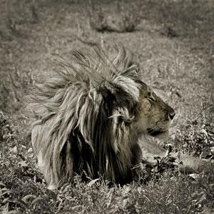 TQK_Seringeti_Lion_300.jpg