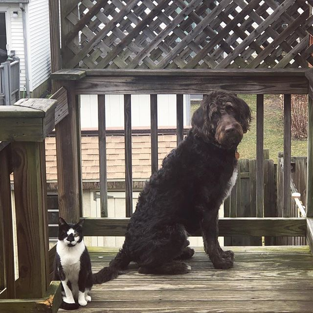 Me and my brother love to hang outside On the deck. He tries to escape down the stairs but I won't let him. There are foxes out there!! #labradoodle #labradoodlesofinstagram #labradoodlepuppy #labradoodles #labradoodle_dogs #worldofcutepets #petsofinsta #petsofinstagram #dogsofinstagram #dogs #dogstagram #chocolatelabradoodle #instadog #instapet #therapydog #therapydogsofinstagram #therapydogs #supportanimals #cats #catsofinstagram #rescuecats #oneeyedcat #siblings #petsoftheday
