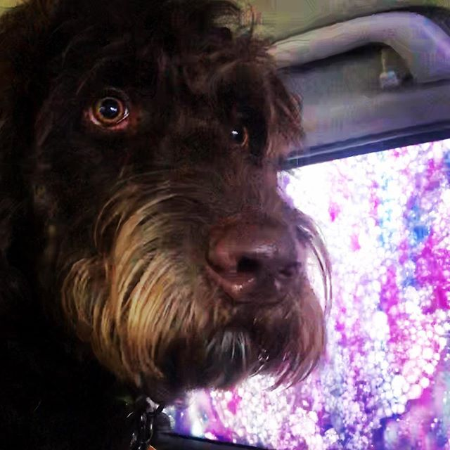 My humans took me to my first car wash this weekend. How come my baths aren't so colorful? 👀🐶 @cantoncarwash  #labradoodle #labradoodlesofinstagram #labradoodlepuppy #labradoodles #labradoodle_dogs #worldofcutepets #petsofinsta #petsofinstagram #dogsofinstagram #dogs #dogstagram #chocolatelabradoodle #instadog #instapet #therapydog #therapydogsofinstagram #therapydogs #supportanimals