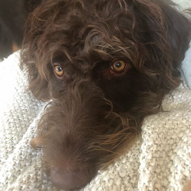 That face when you're ready for a WALK! . . . . . . labradoodle #labradoodlepuppy #doodledays #labradoodlenation #labradoodlesofinstagram #petsofig #dogsofig #puppiesofig #dogsofinsta #chocolatelabradoodle #instadaily #photooftheday #instadog #labradoodles #labradoodlesofig #therapydog #therapydogintraining #wellness #supportanimal #dogter