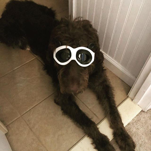 Okay, okay. I moonlight as a panda. Sorry, not sorry.  labradoodle #labradoodlepuppy #doodledays #labradoodlenation #labradoodlesofinstagram #petsofig #dogsofig #puppiesofig #dogsofinsta #chocolatelabradoodle #instadaily #photooftheday #instadog #labradoodles #labradoodlesofig #therapydog #therapydogintraining #wellness #supportanimal #dogter