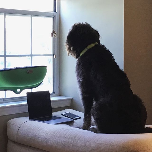 Working from home today, but dreaming of the outdoors. ☀️ 🏃 🐶 . . . #labradoodle #labradoodlepuppy #doodledays #labradoodlenation #labradoodlesofinstagram #petsofig #dogsofig #puppiesofig #dogsofinsta #chocolatelabradoodle #instadaily #photooftheday #instadog #labradoodles #labradoodlesofig #therapydog #therapydog #wellness #supportanimal #dogter #dogsofinstagram #instapet #therapydogsofinstagram #therapydogs #homeoffice #workfromhome #dogs #doodlesofinstagram