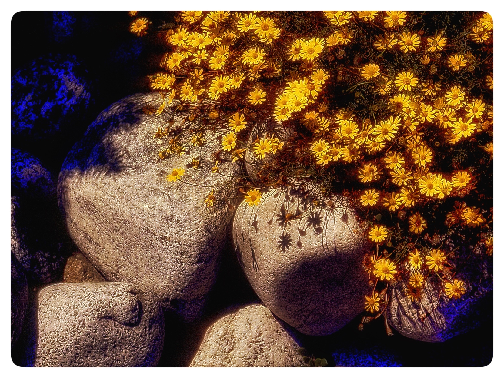 Rock Garden with Pansies