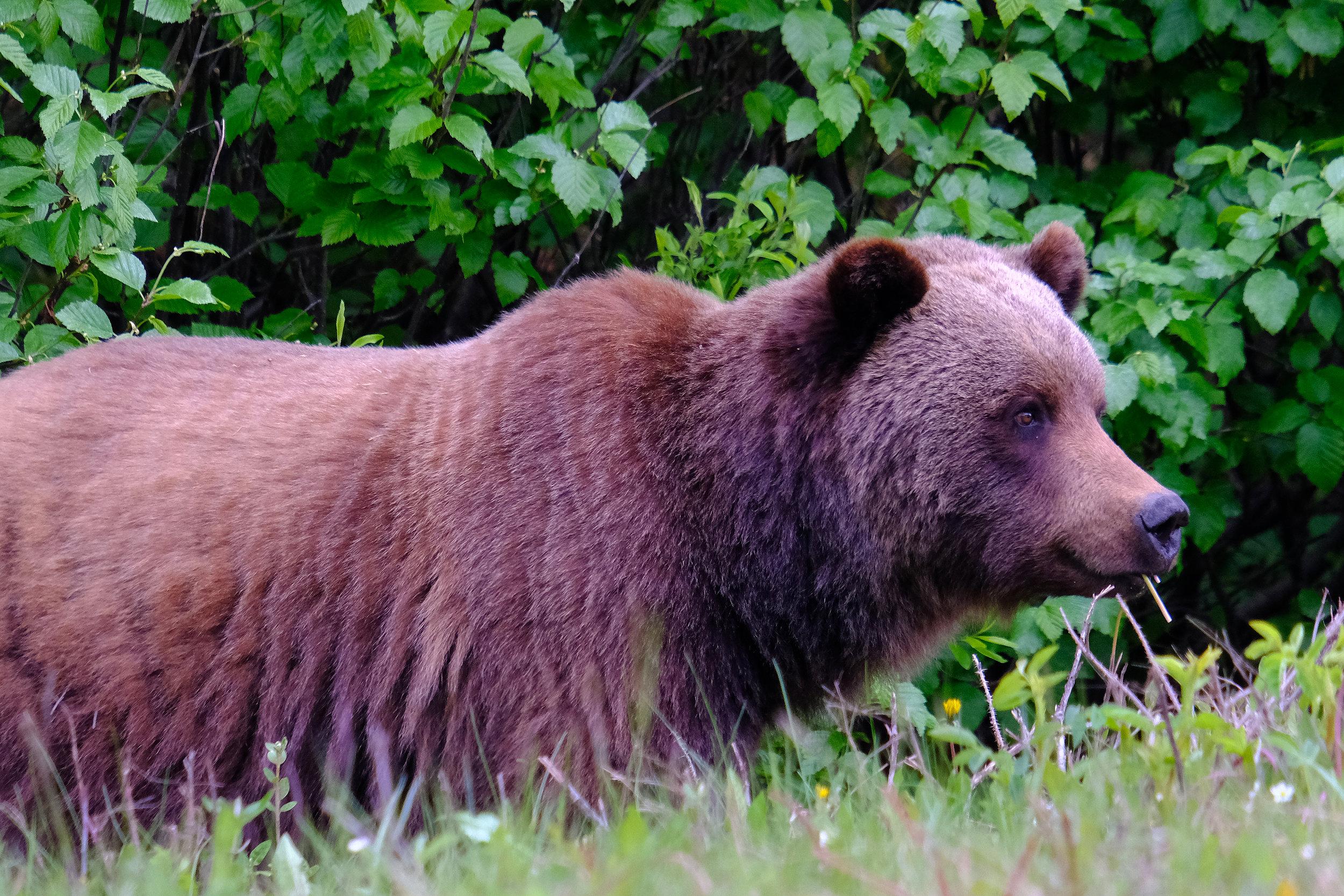 Grizzly Male DSCF6524.jpg