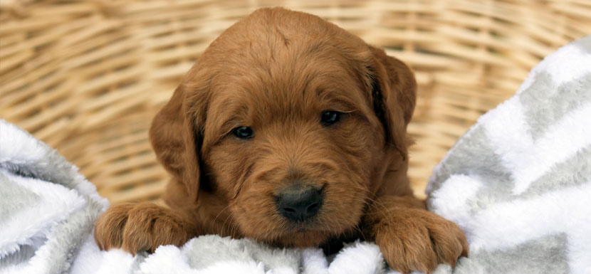 Red Miniature Goldendoodle Puppy