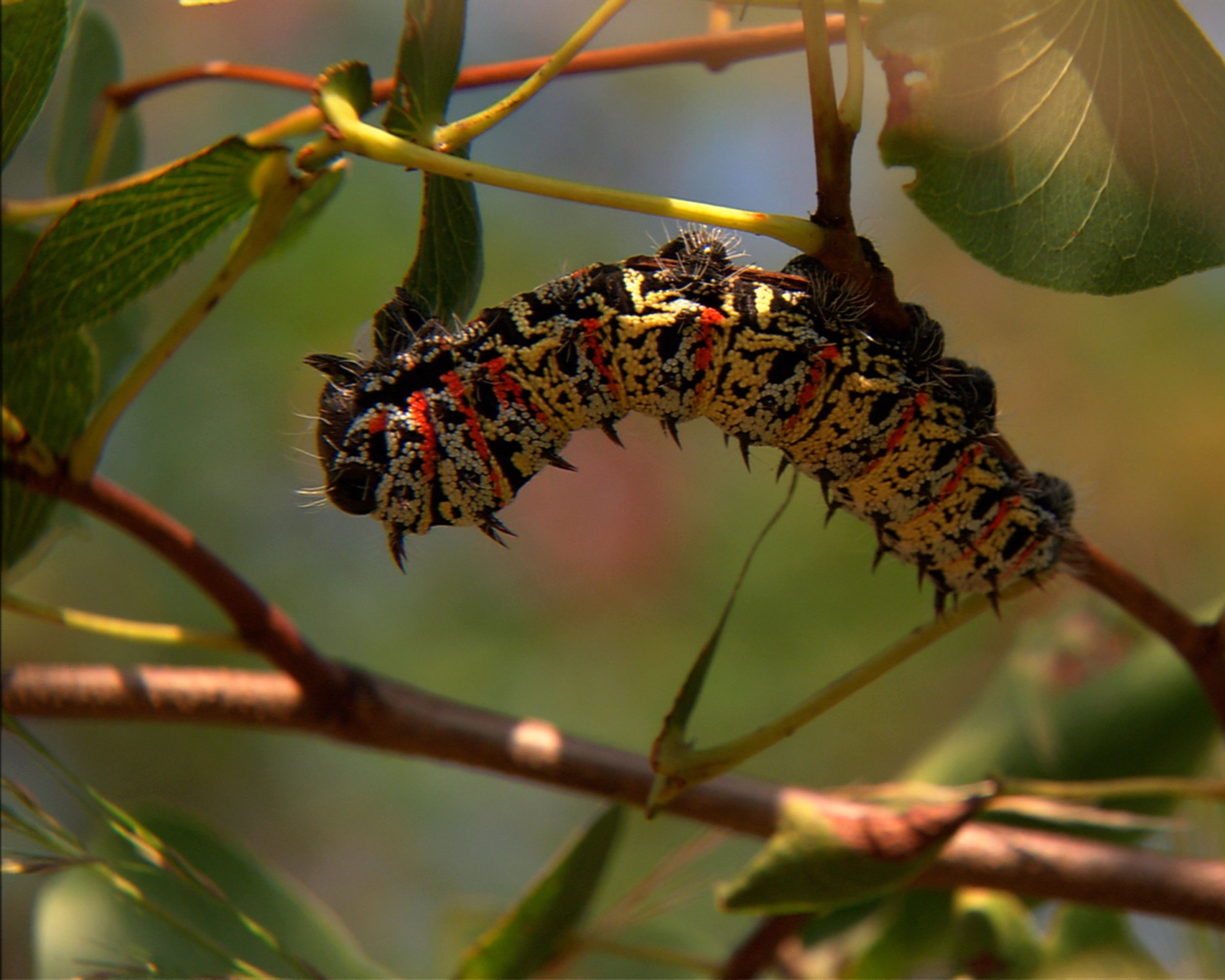 Bugs on the Menu 04 - A mopane caterpillar is plucked from a tree in South Africa, where it is harvested for human food.jpg