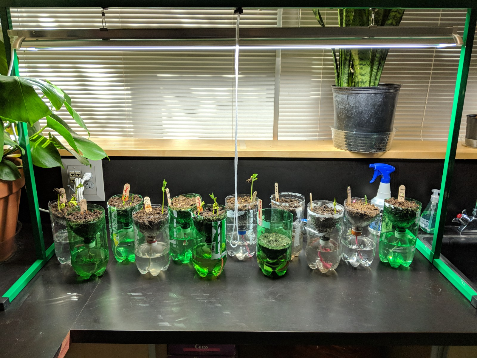 Blair - Pop Bottle Plants (early growth).jpg
