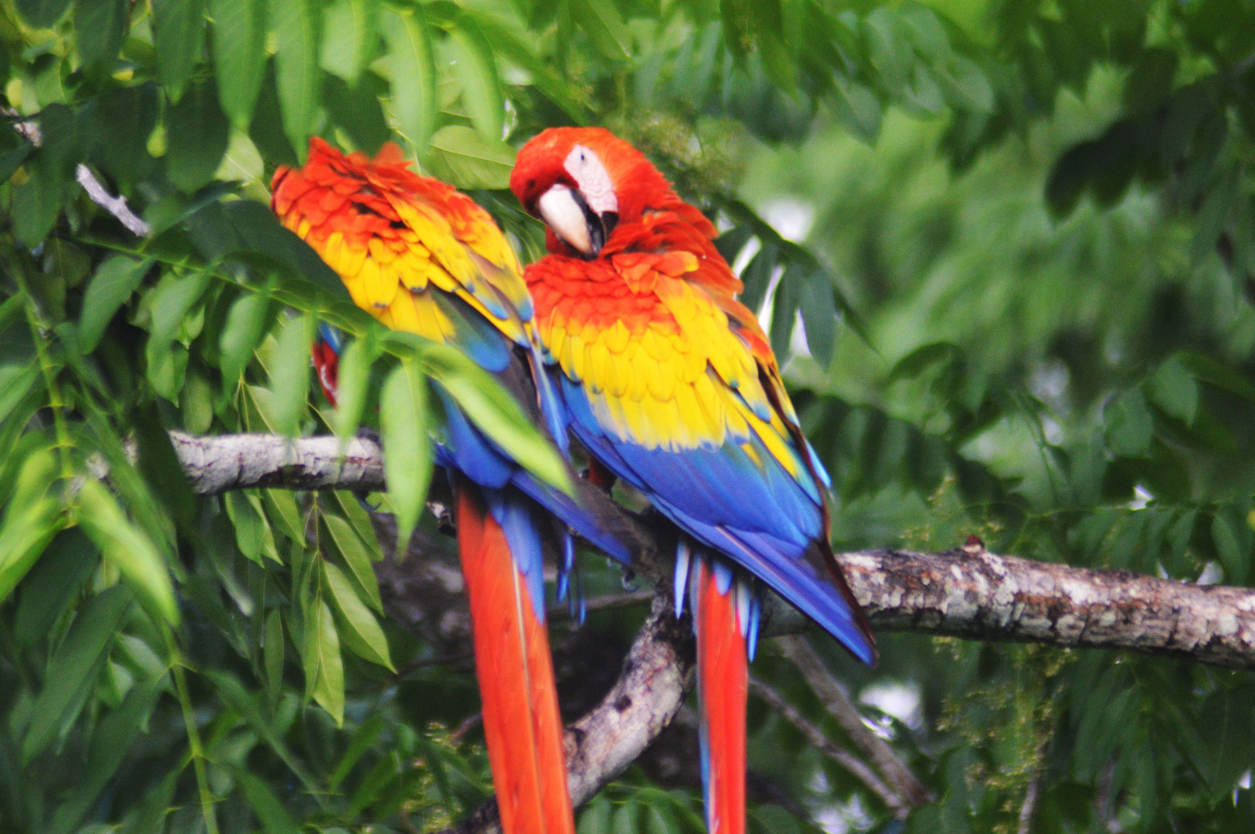 Retouched - 2 Macaws on Branch I.jpg