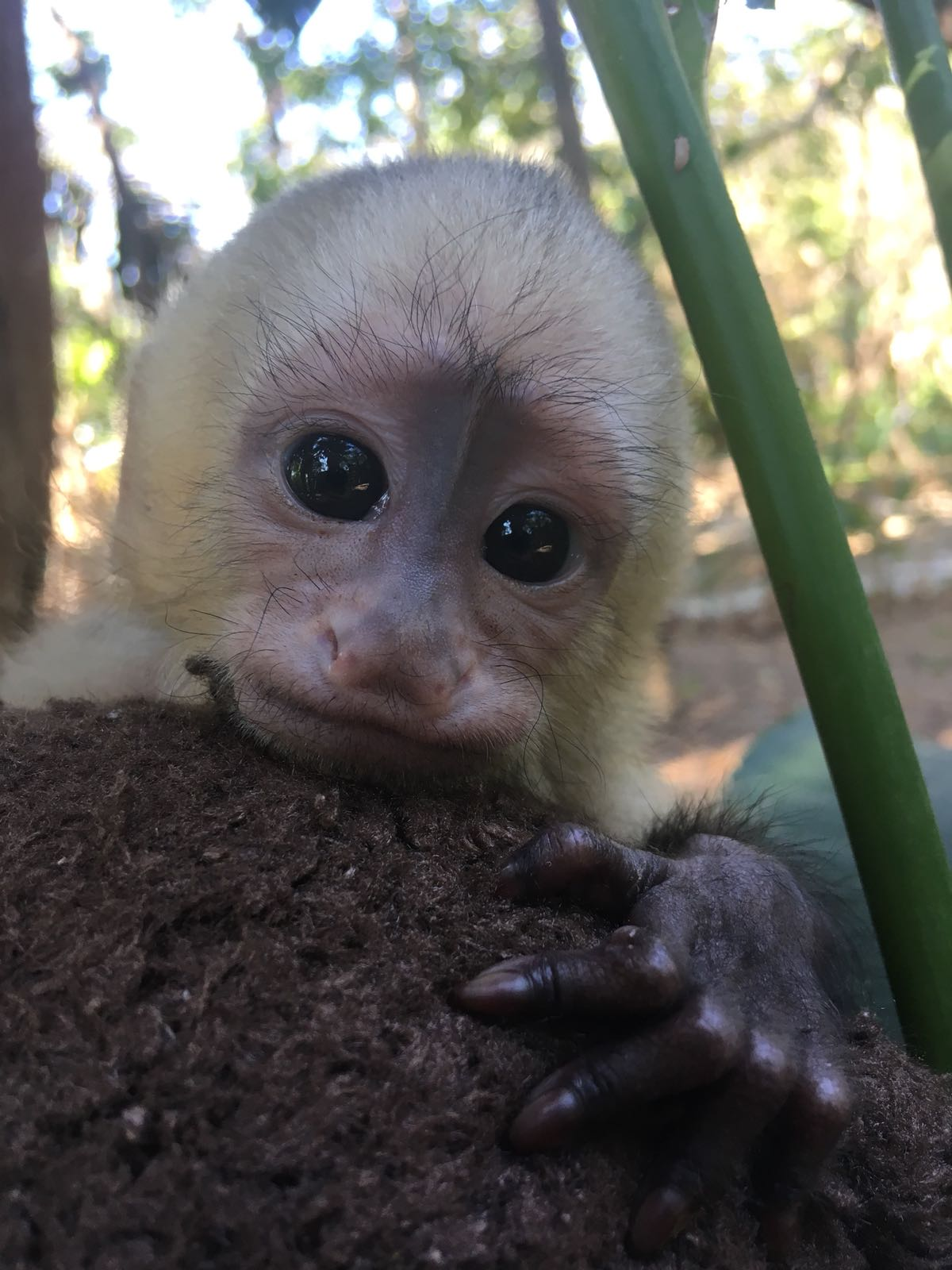Capuchin.jpeg