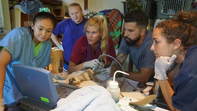 Check out our externship instagram @wildvetscostarica to get a more in-depth look at some of our medical cases, and watch our amazing veterinary team train the next generation of wildlife vets in conservation medicine! 🌿  Here, Dr. Liz and Dr. Ricardo demonstrate proper ultrasound technique during a clinical exam on Todd Fox. 👩‍⚕️🦊👨‍⚕️ If you're a pre-vet or veterinary student interested in coming to learn with us, check out our website or contact us for program details!  #veterinarymedicine #veterinaryexternship #externship #veterinaryexperience #prevetstudent #vetstudent #learnabroad #costarica #conservationmedicine #collaboration #vetsintraining #wildlifevets #wildlifeconservation