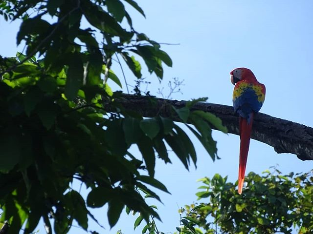 The first population of wild Cabuya Macaws. It's still unbelievable to see them soaring above us and impossible to describe how beautiful. 📸: @ecsra . . . . . #conservation #conservationbiology #ecology #rewilding #release #savingaspecies #costarica #reintroduction #wildlife #release #biology #nature #macaw #scarletmacaw #ara #aramacao #jungle #rainforest