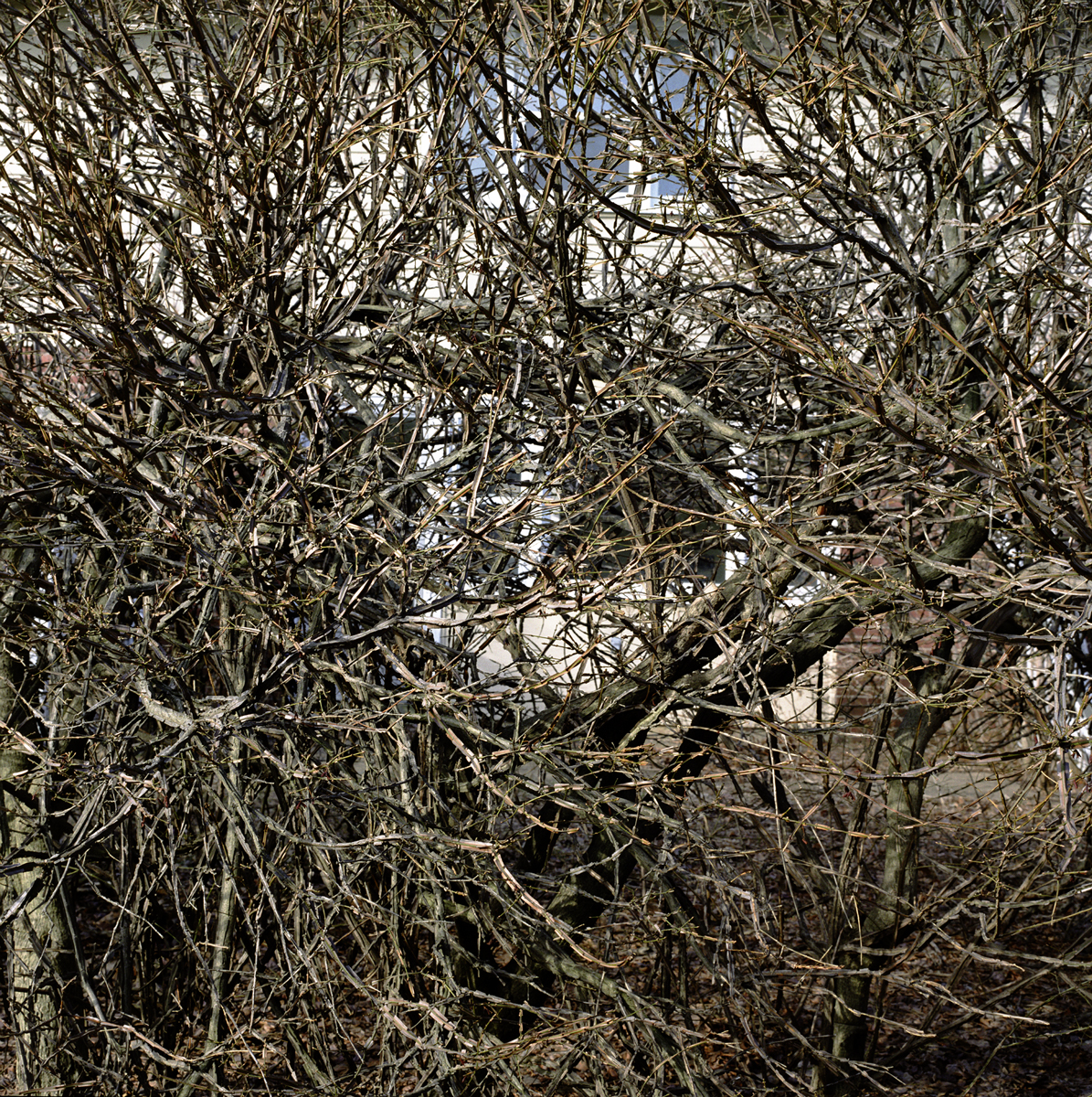 32. Untitled (Hedge). 2005. Archival Pigment Print.