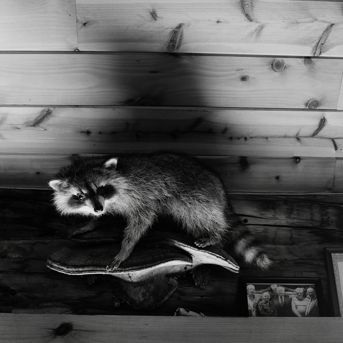9. Raccoon and Group Portrait, Rod and Game Club, Saranac Lake, NY. 2000. Toned Gelatin Silver Print.