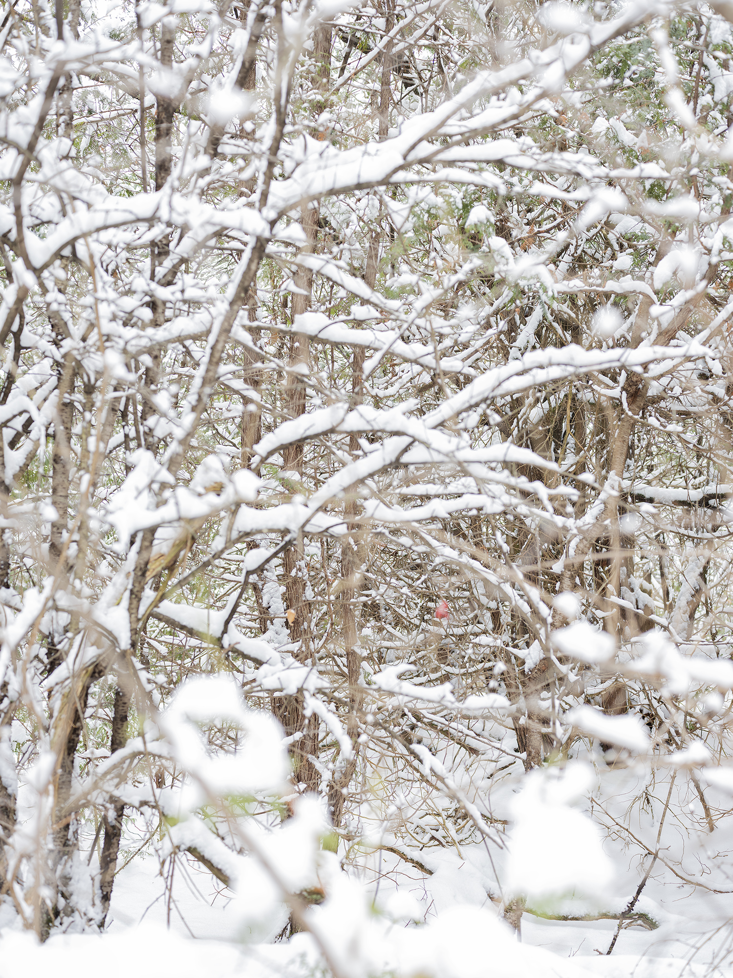 81. Trees and snow, Canadian border. Various sizes. 2019.