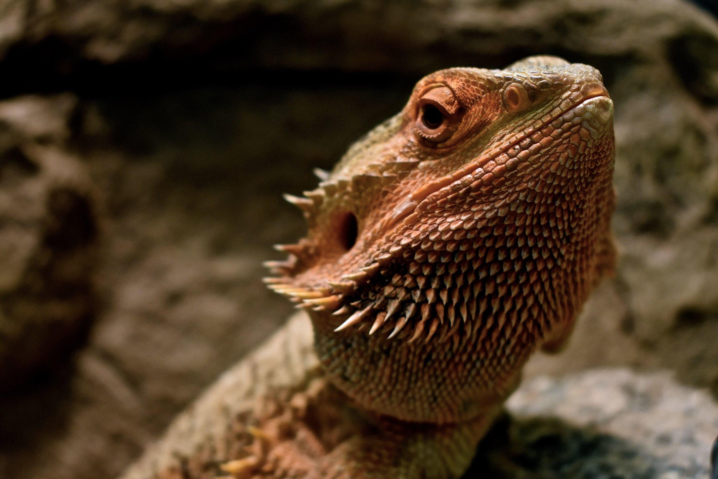 Bearded Dragon 2.jpg