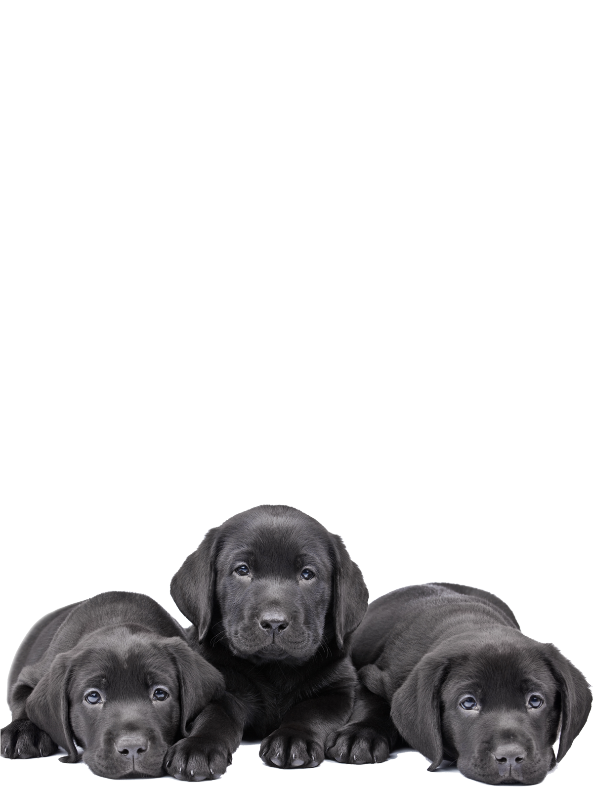 lab-puppies.png