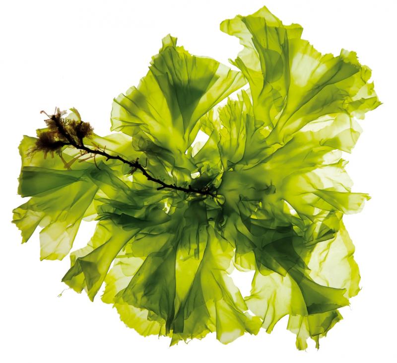 Green algae. Credit: AlgaePARC Wageningen UR