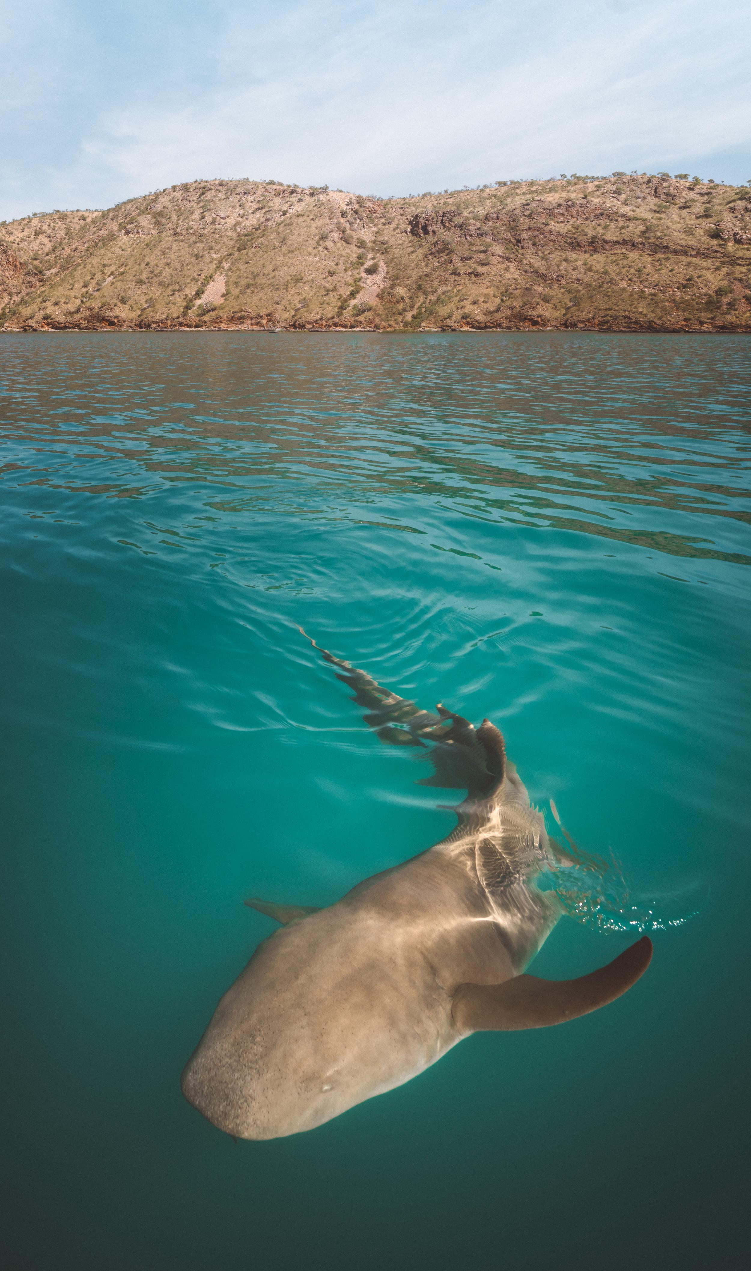 A Tawny Nurse Shark, Kimberley Australia. Image by  Renata Lorrain