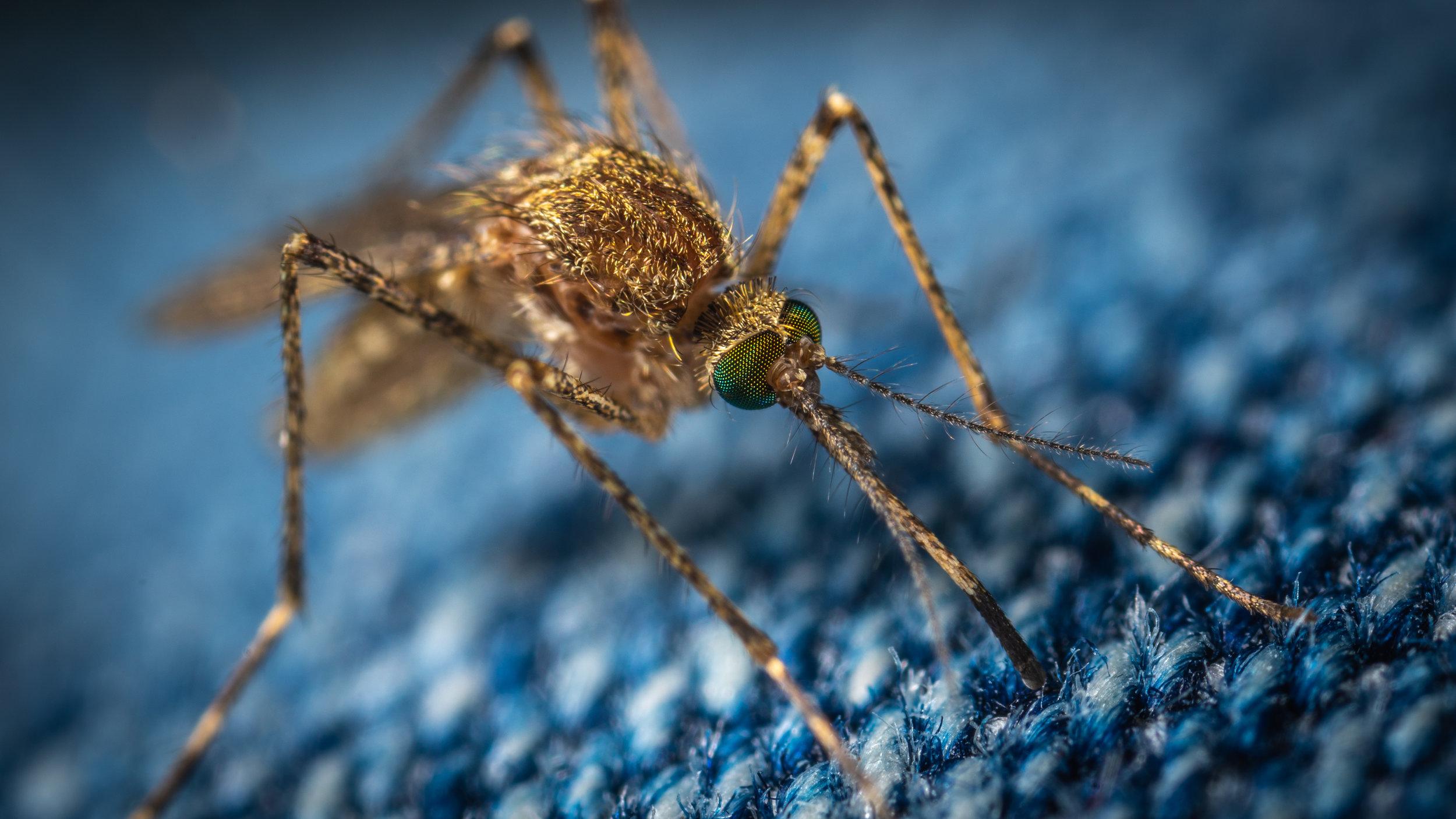 Samice večine vrst komarjev potrebujejo kri za razmnoževanje. Foto: Unsplash