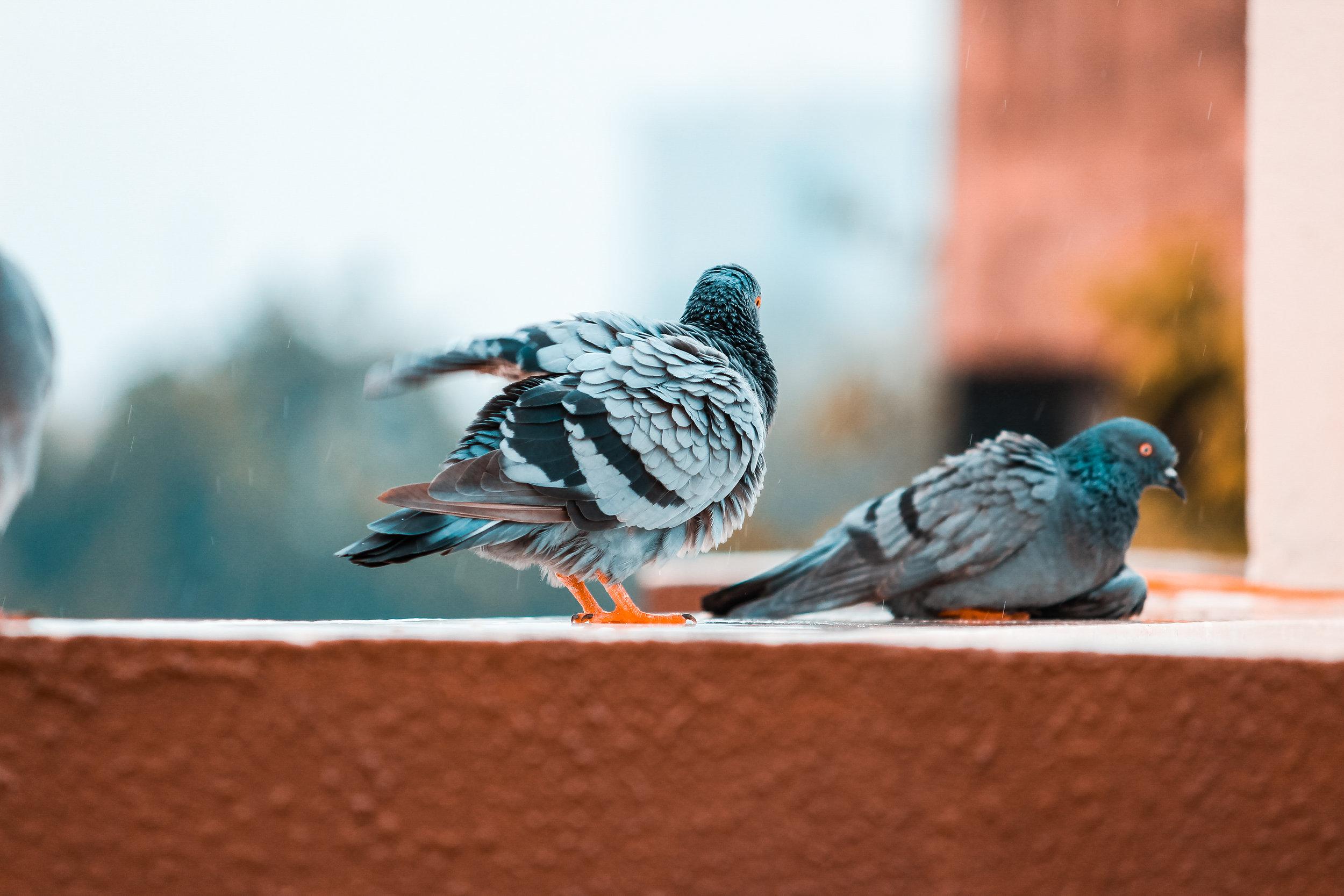 Zaradi teže in majhnosti lahko ptice zelo hitro zaužijejo preveliko količino zrelega sadja, ki vsebuje alkohol. Posledice so lahko usodne. Foto: Unsplash
