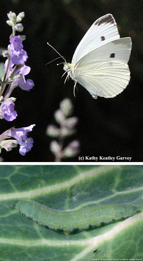 Photos: Top – summer cabbage white butterfly in flight, from  UC Bug Squad Blog , by Kathy Keatley Garvey. Bottom – imported cabbageworm larva by Jack Kelly Clark
