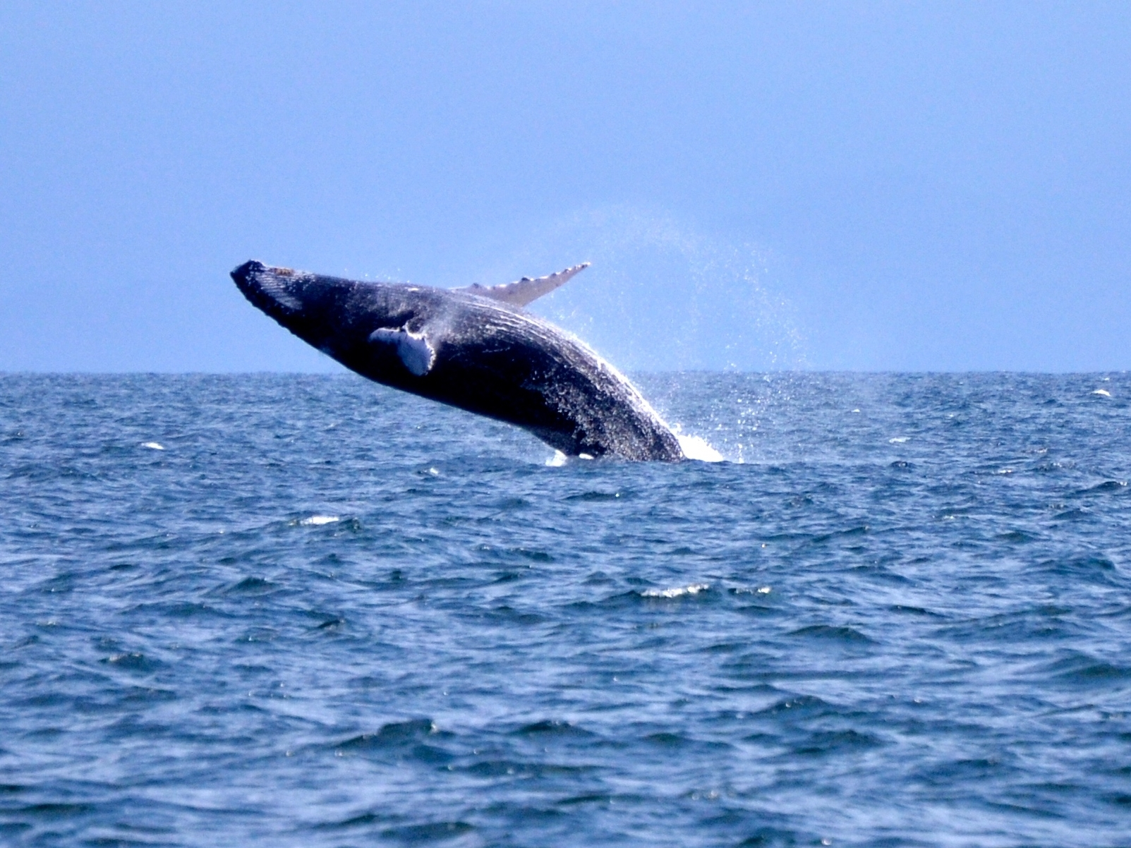 Watch the Whales - Attracted by the calm and warm waters of the Samana Bay, the humpback whale population explodes every winter. You can meet this gentle giants at a unique experience that will last forever. The whale chasing excursions consist of a half day boat trip. Get your camera ready for awesome shots of this beautiful creatures.